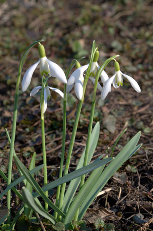 ornamental horticulture: Snowdrop
