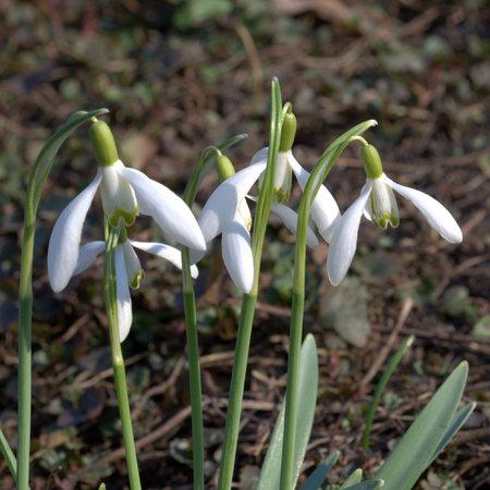 galanthus: Snowdrop