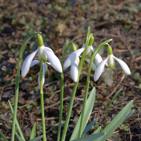 ornamental horticulture: Snowdrop