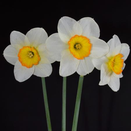 daffodils: Daffodils on a black background Stock Photo