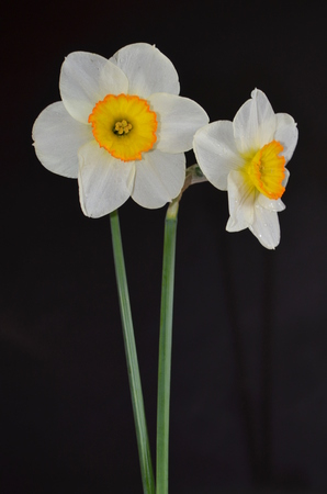 Daffodils on a black background photo