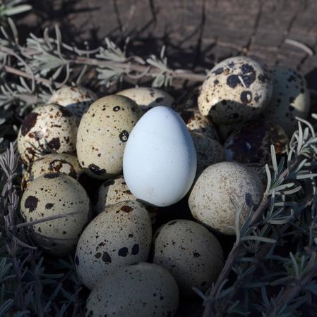 wachteleier: Wachtel-Eier  Lizenzfreie Bilder