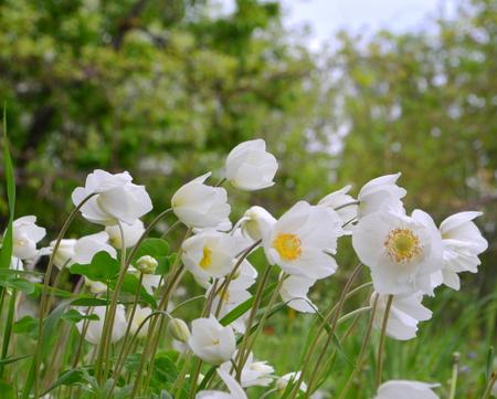 anemones: Flowers anemones