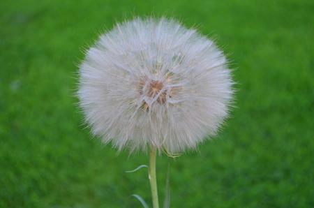 seminal: dandelion