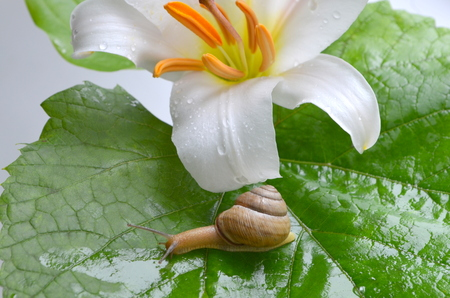 clam gardens: Snail and white lily