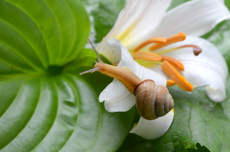 Snail and white lily