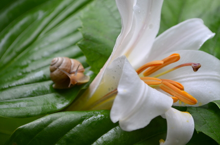 cochlea: Snail and white lily