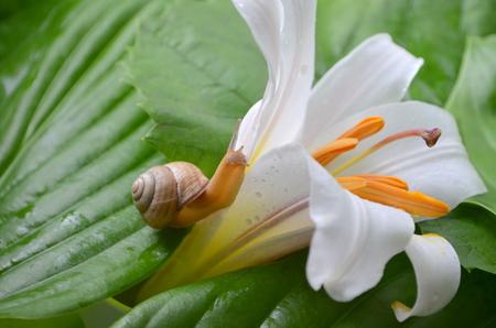 white lily: Caracol y lirio blanco