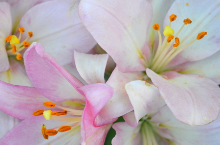 asian house plants: lily