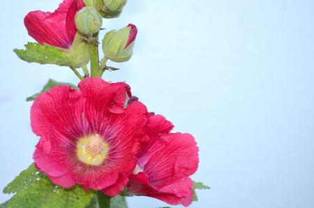 pflegeversicherung: rosa Malve