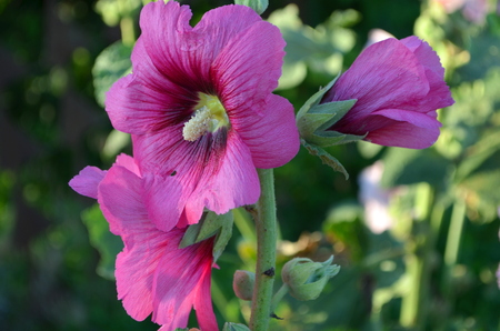 seed bed: pink mallow