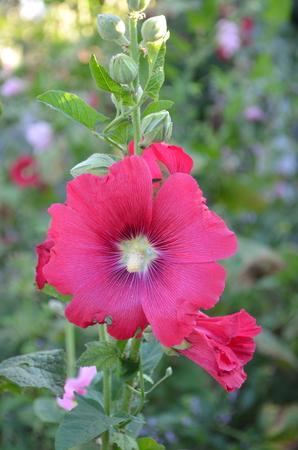 mallow: pink mallow