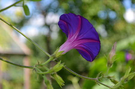 seed bed: morning glory