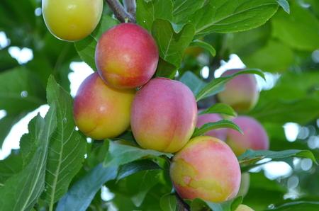 laxative: plum fruit