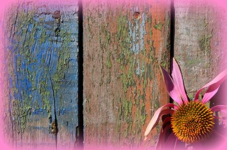 echinacea: Echinacea background