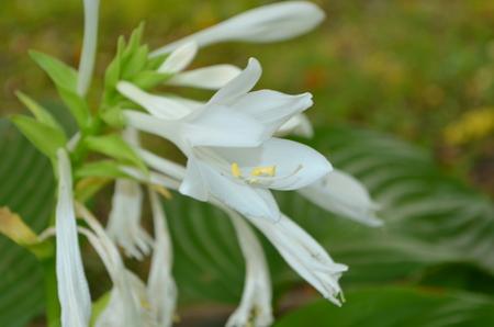 ruggedness: Hosta white