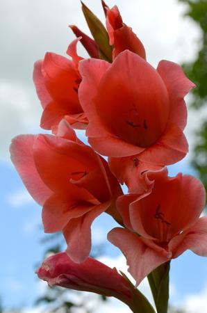 eau de toilette: gladiolus