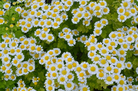 replant: background, chamomile