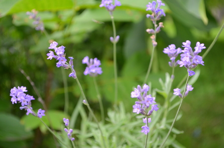ornamental plant: Lavender bushes - an ornamental plant
