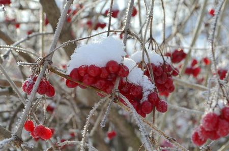 Viburnum berries in winter Stock Photo
