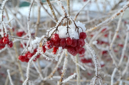 Viburnum berries in winter Stock Photo