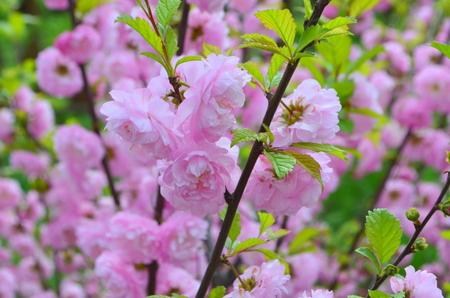 fascinating: Spring. Fascinating Japanese flowering plum