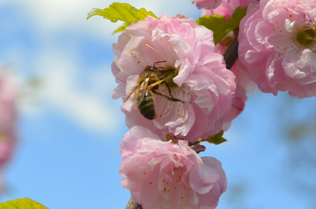 Spring. Japanese plum flowers and bee