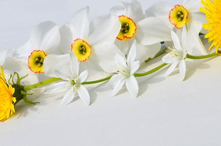 ornithogalum: Daffodils, ornithogalum Stock Photo