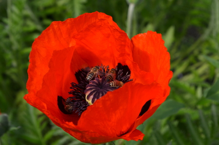 windward: flower red poppy and bees