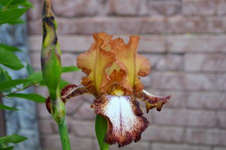 windward: iris, fleur-de-lis