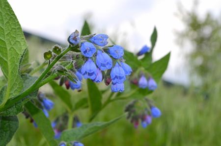 comfrey: Comfrey - a medicinal plant.