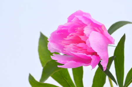attractiveness: Pink peony on a white background