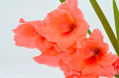 beautiful gladiolus flowers isolated on white background