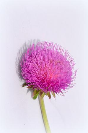 herbal remedy: Milk Thistle plant (Silybum marianum) herbal remedy