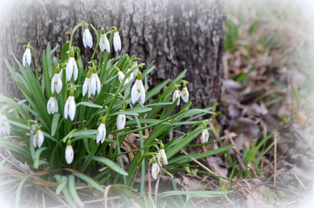 White snowdrops in early spring in the forest