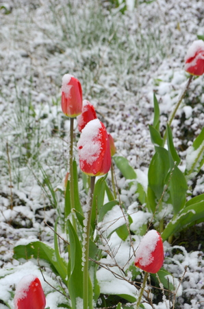 Red tulips under snow - a natural anomaly Stock fotó
