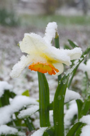 Daffodils under snow - a natural anomaly Stock fotó