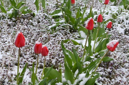 Red tulips under snow - a natural anomaly Lizenzfreie Bilder