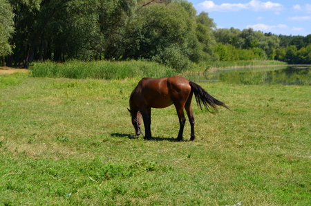Brown horse on the meadow