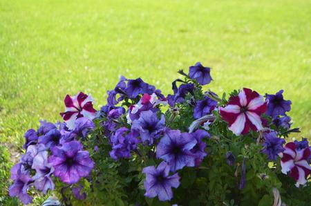 Flowers of violet petunia