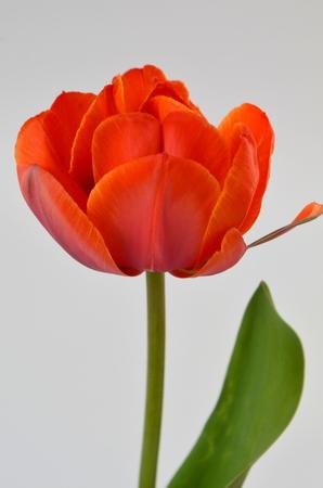 Adrem double Tulipa paeonyflowering terry orange