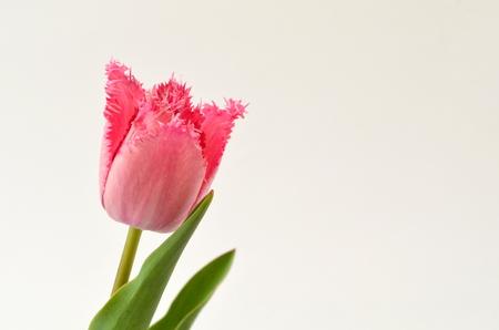 Cacharel. Pink tulip crispa, Tulip fringed