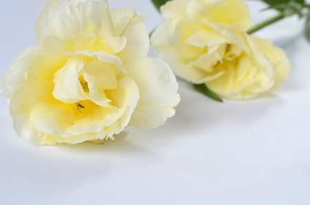 Tulip Finola Terry early pink and Avan garde gentle yellow