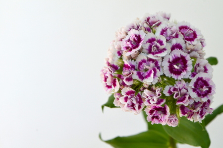 sweet-william carnation flower perennial plant