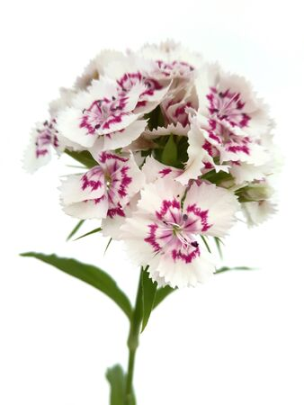 Turkish flower carnation (Dinthus barbtus) on a white background Stock Photo