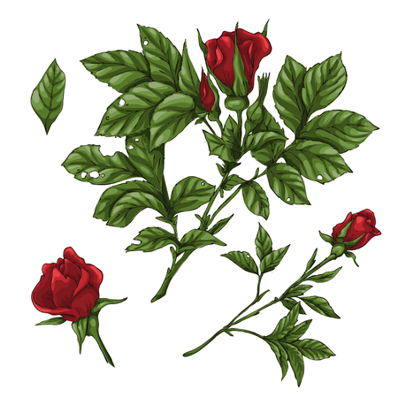 Set of red rose flower, bud and leaves. Isolated on white vector illustration Иллюстрация