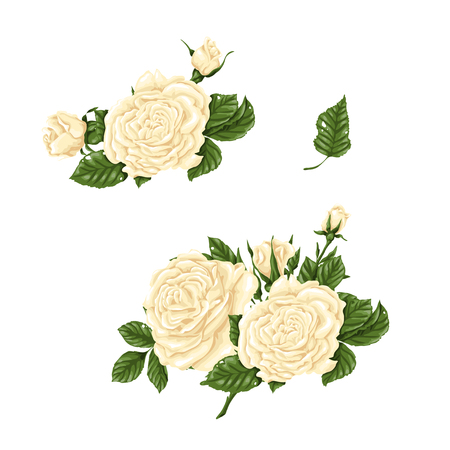 Set of white roses, bouquets, flowers and buds. Vector illustration Illustration