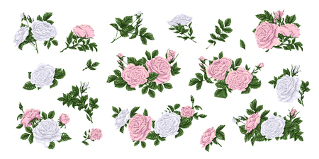 Set of pink and white roses Vector illustration Illustration
