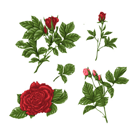 Set of pink and red roses, bouquets, flowers and buds. Vector illustration. Illustration