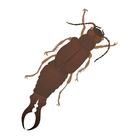 Earwig color illustration isolated on white background. Vector.